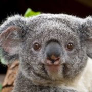 Majestic koala