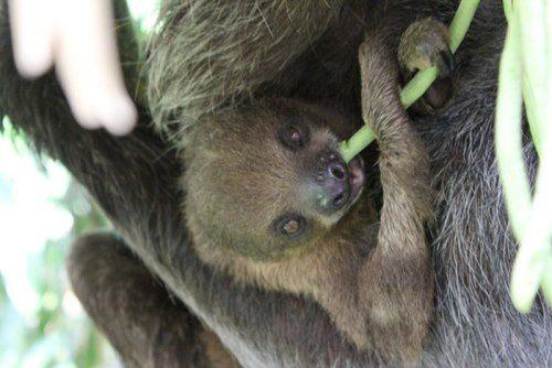 Majestic sloth