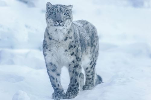 Majestic snow leopard