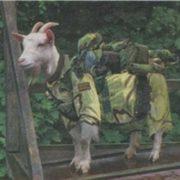 Military goat