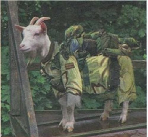Military goat