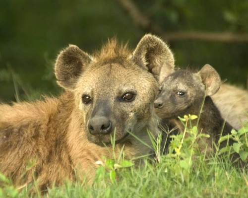 Mother hyena and her baby