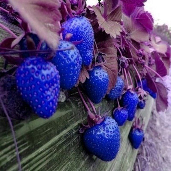 Navy blue strawberry