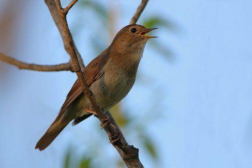Nightingale – great singer