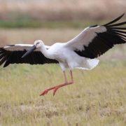 Oriental stork