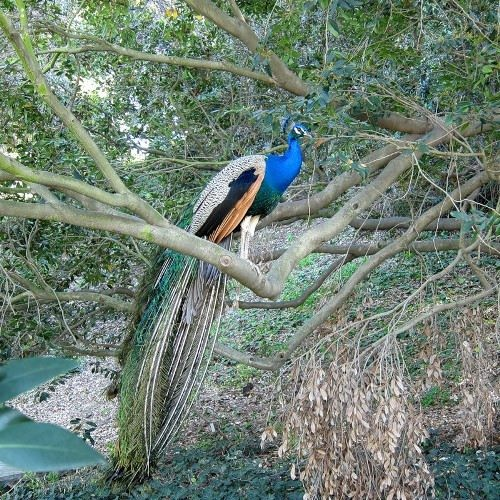 Peacock on the branch