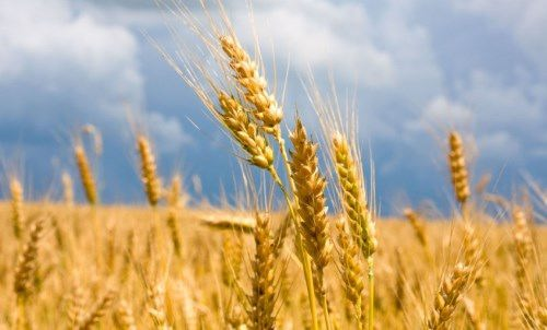 Picturesque wheat