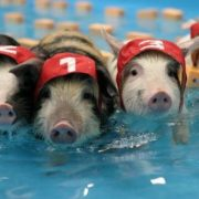 Pigs are great swimmers