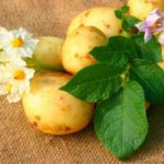 Potato – valuable vegetable