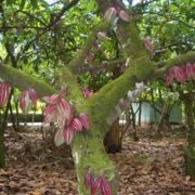 Pretty cacao tree