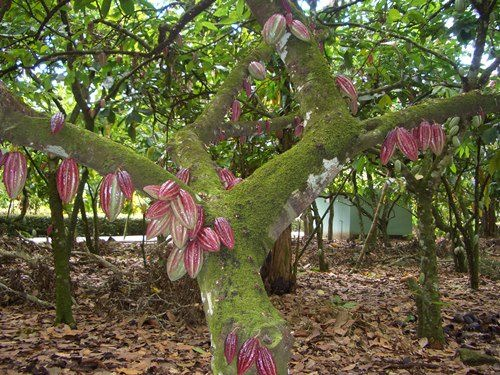 Pretty cacao tree