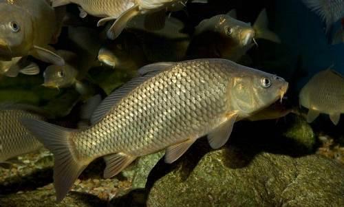 Pretty carp