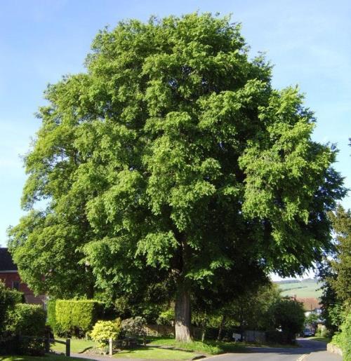 Pretty elm