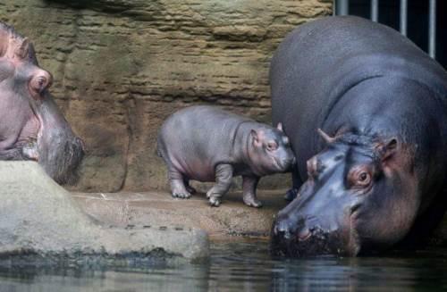 Pretty hippopotamus