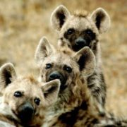 Pretty hyenas