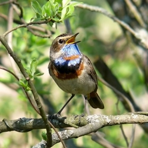 Pretty nightingale