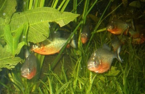 Pretty piranha