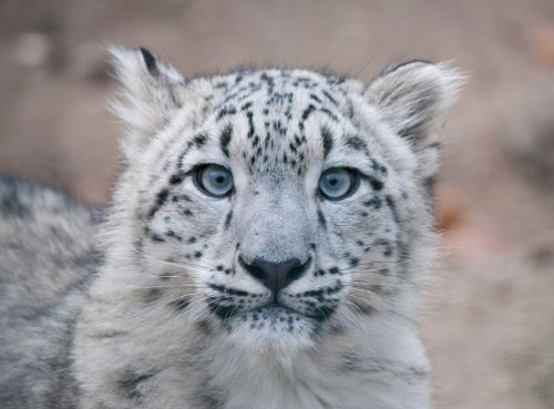 Pretty snow leopard