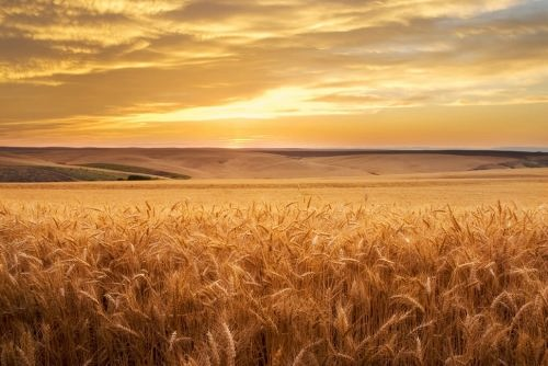 Pretty wheat. Photo by Brent Elsberry