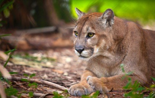 Puma – beautiful wild cat