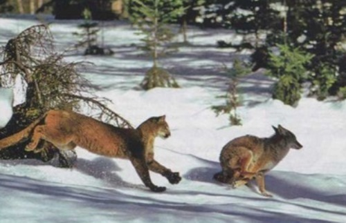 Puma is chasing coyote