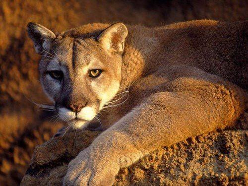 Puma. Photo by Alexey Osokin