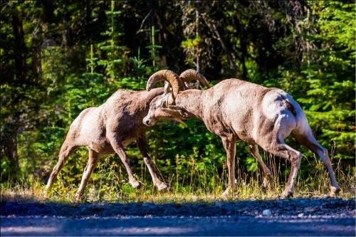 Rams are fighting