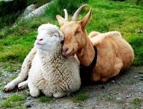 Sheep and goat - best friends