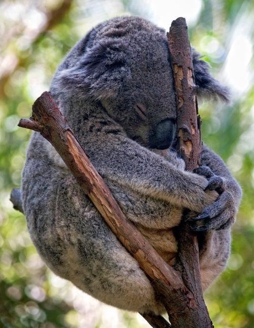 Sleeping koala