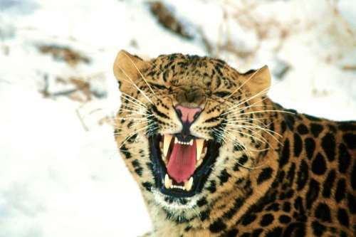 Smile of the leopard