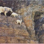 Snow goats on steep mountain slopes