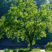 Stunning elm