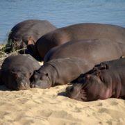 Stunning hippopotamus