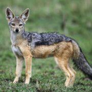 Stunning jackal