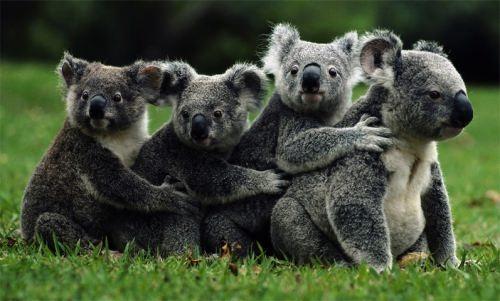 Stunning koalas