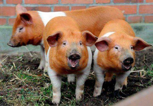 Stunning pigs