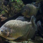 Stunning piranha