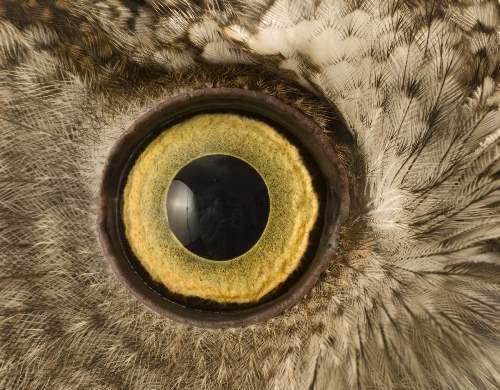 Surprised eyes of an owl