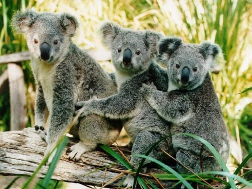 Three koalas