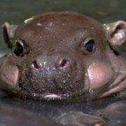 Tiny hippo