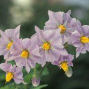 Violet potato flowers