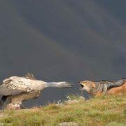 Vulture and jackal
