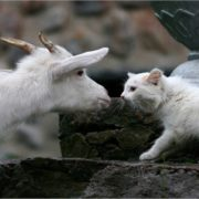 White cat vs white goat