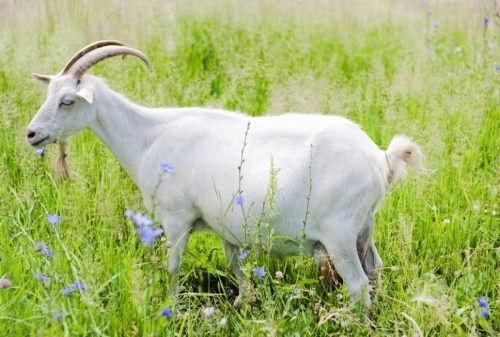White goat in the field