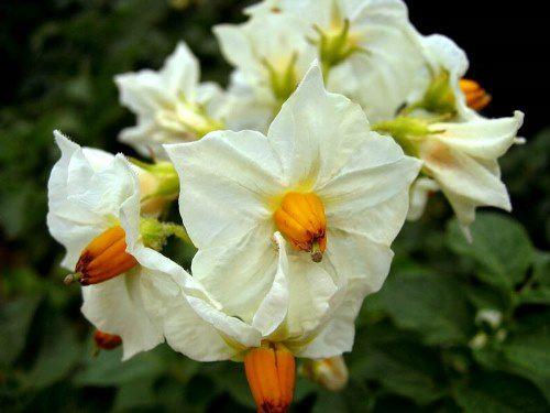White potato flowers