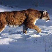 Winter Stalker