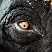Wisdom in the eyes of an elephant
