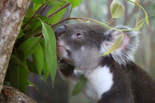 Wonderful koala