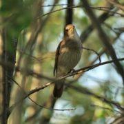 Wonderful nightingale