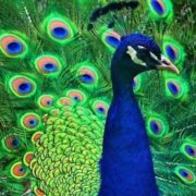 Wonderful peacock